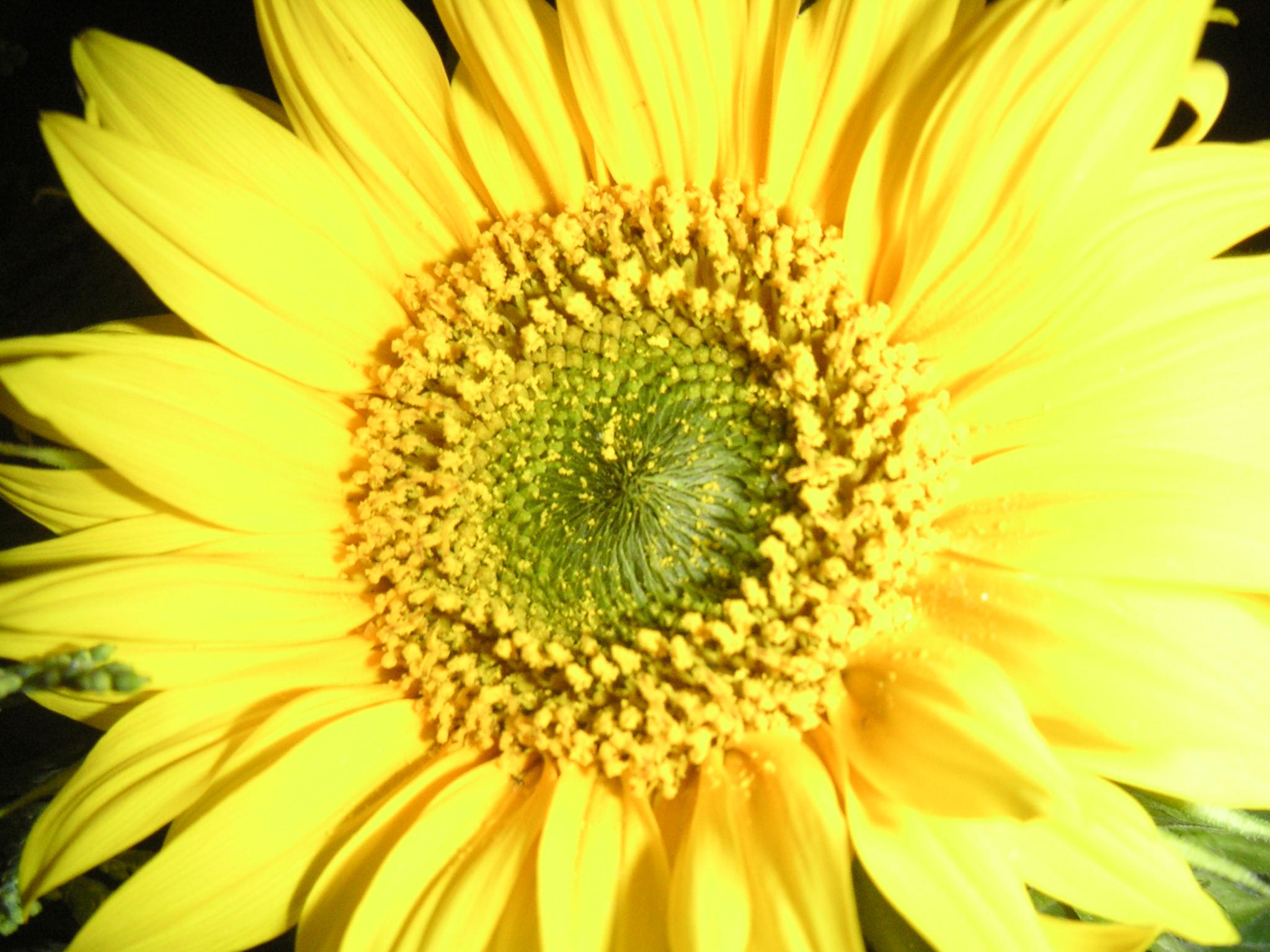 Sonnenblume-620-KB
